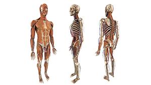 3D CGI anatomy human figure character